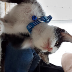 閲覧注意/ハチワレ/仔猫/猫 閲覧注意💕 友人宅に、保護猫が来ました💕…(2枚目)