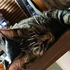 ニャンコ同好会/キジトラ/猫 扇風機の風がいい感じにあたる 机の上で …