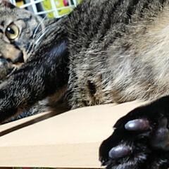 肉球/猫/にゃんこ同好会 あっ、肉球嗅ぎたい?