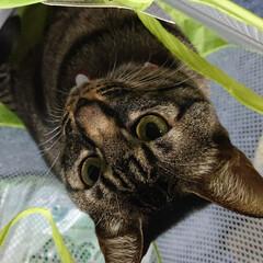 洗濯ネット/猫/キジトラ ネットの中が、気に入ったようす しばらく…(1枚目)
