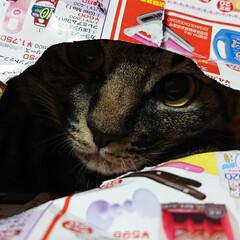 ニャンコ同好会 チラシを破り 穴から覗き見 穴から猫パン…
