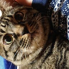 にゃんこ同好会/キジトラ/猫 ミリー専用膝枕 もう二時間この体勢なんで…