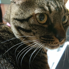 邪魔猫/猫/キジトラ 机に向かうと ノートの上に、ドーンと座る…(1枚目)