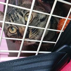キジトラ/ニャンコ同好会 予防注射に行きました。  狂犬病の注射で…