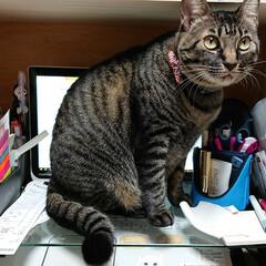 パソコン猫/ニャンコ同好会/キジトラ ミリーさん、画面見えません ミリーしか見…