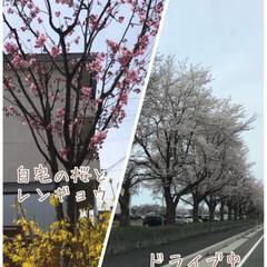 コラージュ/アプリコットケーキ/15時過ぎのお茶/満開/桜並木/ドライブ中/... ついに開花☆  庭の桜がついに開花しまし…