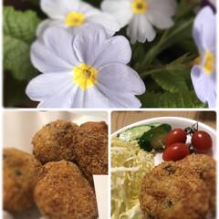 チーズ入り/プリムラ/お花/春/植物/コロッケ定食/... プリムラが満開です☆  昨年春に購入した…