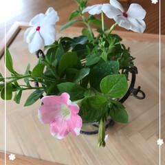 植物/サフィニアアート/ペチュニア/ニチニチソウ/暑さに強い/季節のお花/... テーブルフラワー☆  切り戻したお庭の花…