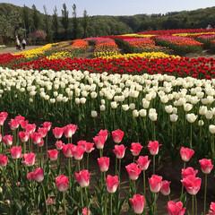 チューリップ/公園/風景/おでかけ 公園のチューリップ☆  チューリップの段…