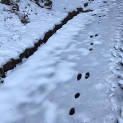 長靴/雪/足跡/野うさぎ/山/散歩/... 野うさぎの足跡☆  雪道を長靴で散歩して…