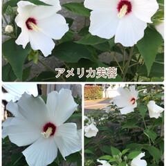 植物/お庭/アメリカ芙蓉/ニチニチソウごめんなさい/暑い/咲いている/... 今日のお花☆  暑くなりましたが… 負け…(2枚目)