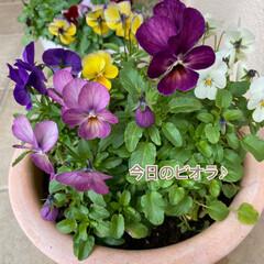 癒される/今日のお花たち/リミアの冬暮らし/住まい/暮らし 今日のお花たち☆  やっぱりビオラがキレ…
