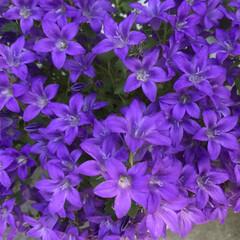 切り戻し/紫/カンパニュラ/植物/玄関 6月のカンパニュラ☆  1度咲いた後切り…