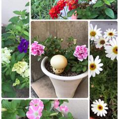 植物/お庭/アメリカ芙蓉/ニチニチソウごめんなさい/暑い/咲いている/... 今日のお花☆  暑くなりましたが… 負け…
