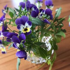 キャンドルホルダー/花瓶/伸びた/植物/切り花/冬越し/... ヒゲのおじさん満開☆  すみれのヒゲのお…