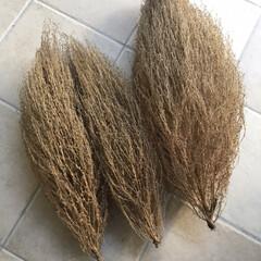ホウキ/収穫/ホウキグサ/コキア コキアの収穫☆  裏庭のホウキグサを収穫…