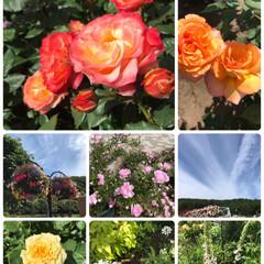 疲れた/最高/キレイ/お天気/ばらソフト/楽しむ/... バラ薔薇ばら他☆  公園にバラを見に行っ…(3枚目)