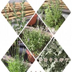 珍しい/集まる/地植え/蕾/ペチュニア/スーパーアリッサム/... 今日のお花☆  ラベンダーが好きで何種類…