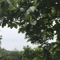 花/ホウの木/散歩 ホウの木の花☆  ホウの木の花を今年初め…