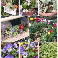 癒される/春が来た/実家/多肉/寄せ植え/植物/... 実家のお花たち☆  雪も消えて実家にも春…