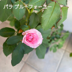 寄せ植え/ニチニチソウ/スカビオサ/栄養が足りなかった/ちっちゃ!!!/秋のバラ/... バラが咲いた☆  秋のバラが咲きました♪…
