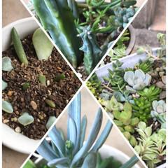 季節/植物/また増えるよう/子ども/花芽か⁈/よく見る/... 多肉ちゃん寄せてみました☆  実家からも…