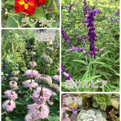 多肉/紫サルビア/ランタナ/ピンクだけが残る/姉が買った/長野の温泉/... 実家のお花たち☆  珍しい段菊は長野の温…
