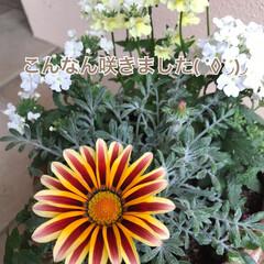 スーパー/植物/寄せ植え/インパクト大/咲いたらすごい/買ってみた/... 元気が出そう⁈な花☆  安かったので蕾の…