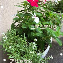 寄せ植え/植物/うれしい/花を咲かせる/復活/日当たり避ける/... 夏越し成功☆  アリッサムの夏越しに成功…