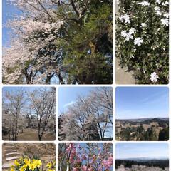 キレイ/遠くに見える/映える/青空/雪山/水仙/... 公園の春⁈☆  今日は春を通り越して➰ …