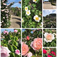 疲れた/最高/キレイ/お天気/ばらソフト/楽しむ/... バラ薔薇ばら他☆  公園にバラを見に行っ…