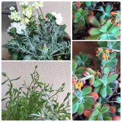 植物/花が咲く/多肉ちゃん/うどん屋さん/蕾がたくさん/冬越し/... 寄せ植え☆  左は今日寄せ植えしました♪…