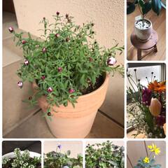 つぼみ/新芽/春の気配/鉢/寄せ植え/植物/... やっと少し春☆  花粉も飛び出し➰春の気…
