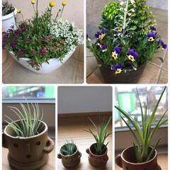 寄せ植え/初めて/エアープランツ/植物/春/ホームセンター/... 春の植物たち☆  姉とホームセンターパト…(1枚目)