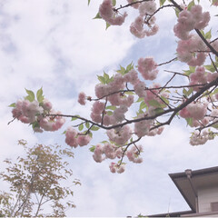 桜満開/八重桜/春のフォト投稿キャンペーン/ありがとう平成/平成最後の一枚 庭の八重桜。 満開になりました。 ご近所…