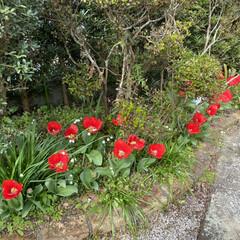 紅葉/アマリリス/チューリップ/花/趣味 新生活の春ですね。 庭の花や木々が綺麗に…