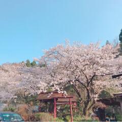 桜満開/桜/おでかけ/風景/春の一枚