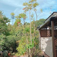 庭選定/庭/庭づくり/夏対策/空 一月遅れで庭師の方々から 剪定していただ…(3枚目)