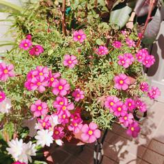 満開/花/冬 昨日、今日暖かく 満開に。🌸☺️