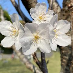公園/桜 家の前の公園の桜達。 咲き始めてから、な…(4枚目)