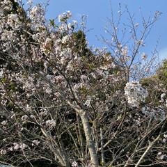 公園/桜 家の前の公園の桜達。 咲き始めてから、な…(2枚目)