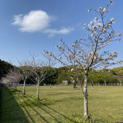 公園/桜 家の前の公園の桜達。 咲き始めてから、な…