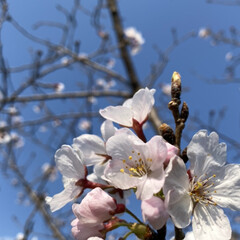 公園/桜 家の前の公園の桜達。 咲き始めてから、な…(3枚目)