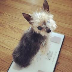 想い出の写真/想い出/体重計/ヨークシャテリア/犬/ペット 体重測りますか?ミニン。 1.2キロぽっ…