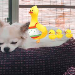 お昼寝/犬/チワワ/ペット お昼寝気持ちいいな💕❤️💤(2枚目)
