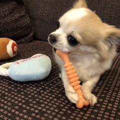 動物/dog/犬/ストレス発散/チワワ部/愛犬/... こんばんは🌙.*·̩͙.。★*゚  ヴェ…