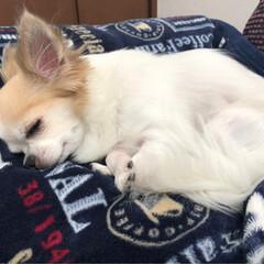 愛犬/チワワ大好き/チワワ部/チワワのヴェルちゃん/ロンチー/ロングコートチワワ/...  おはようございます🔆🔅  毎日、暑いで…