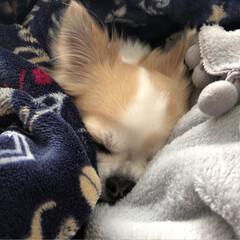 動物/癒し/dog/愛犬/チワワのヴェルちゃん/チワワ組/...  ✧ᴴᴱᴸᴸᴼ✧  こちらは、今日は曇り…(5枚目)