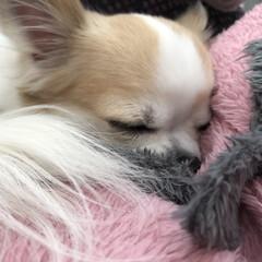 お昼寝/癒し/dog/愛犬/チワワ同好会/ちわわ/... нёllо❁︎  今日も良い天気🔆🔅  …