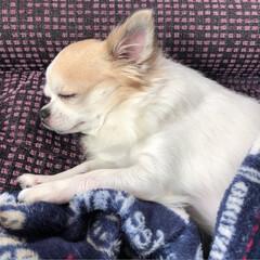 昼寝/愛犬/チワワ/うちのこベストショット/パシャリ!わたしの2018/2018/... 今日も気持ち良さそうにお昼寝しているヴェ…